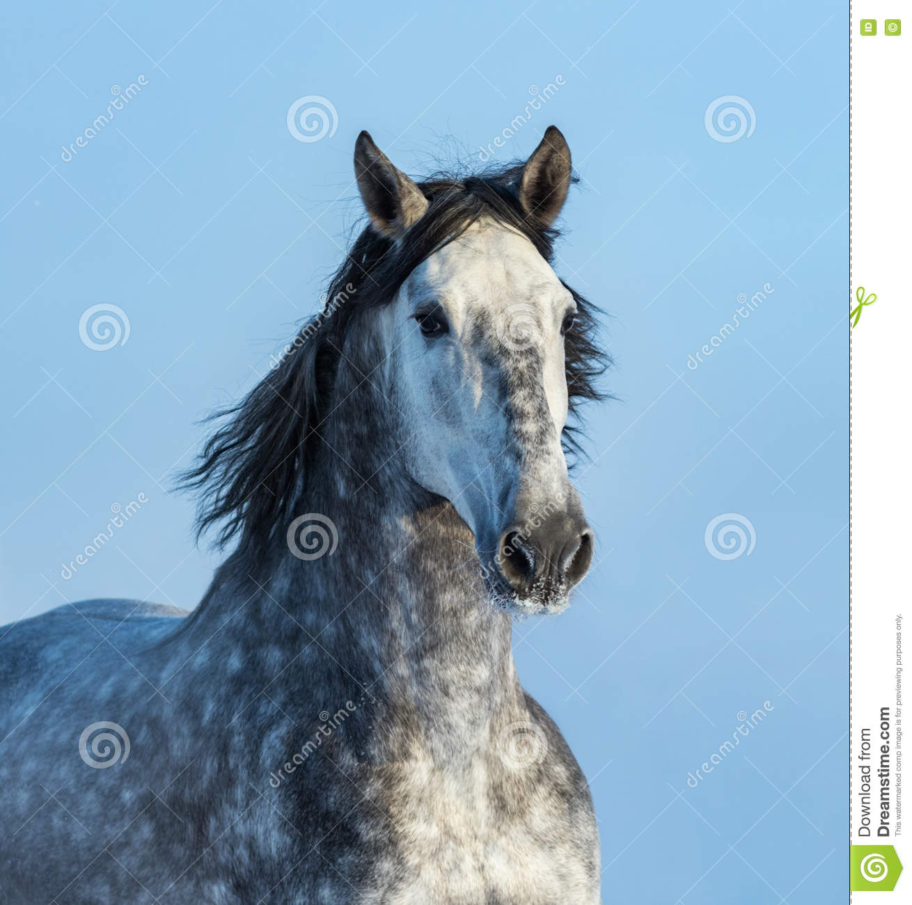 Gray Andalusian Horse Portret van Spaans paard