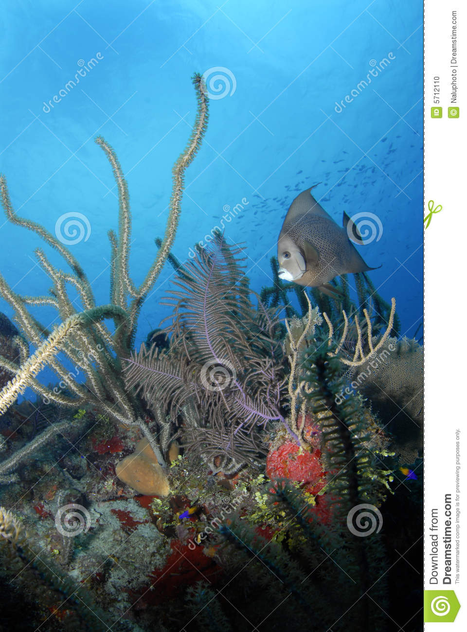 Gray Angelfish with Coral