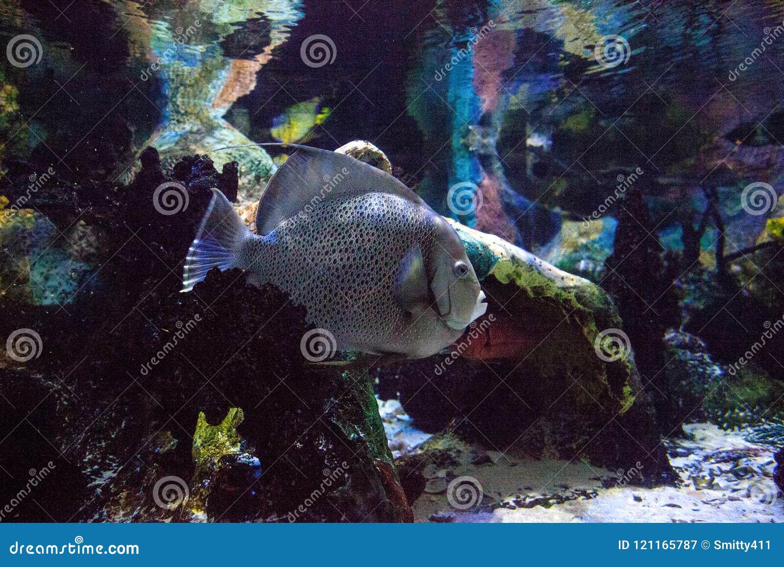 Gray angelfish Pomacanthus arcuatus
