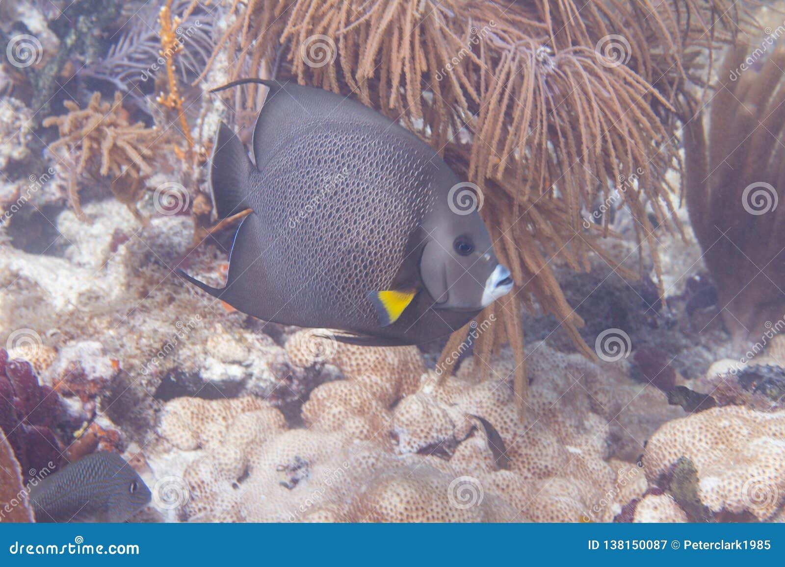 Gray Angelfish sur Coral Reef