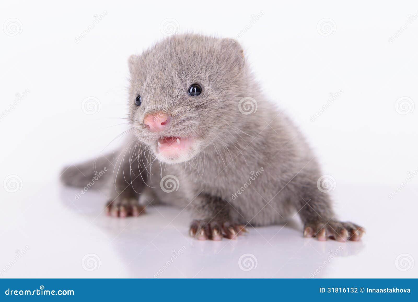 Sugar Glider Gray Animal Mink Stock...