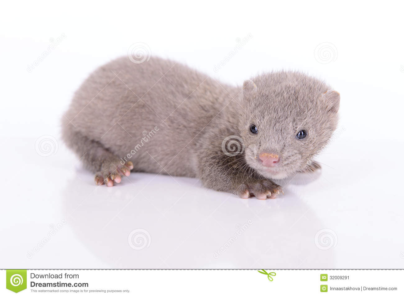 Gray Animal Mink Stock Image Image Of Animals Fluffy 32009291