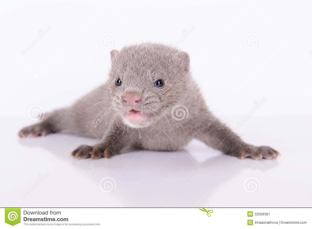 Gray Animal Mink Stock Image Image Of Breed Mink Themes 32009361