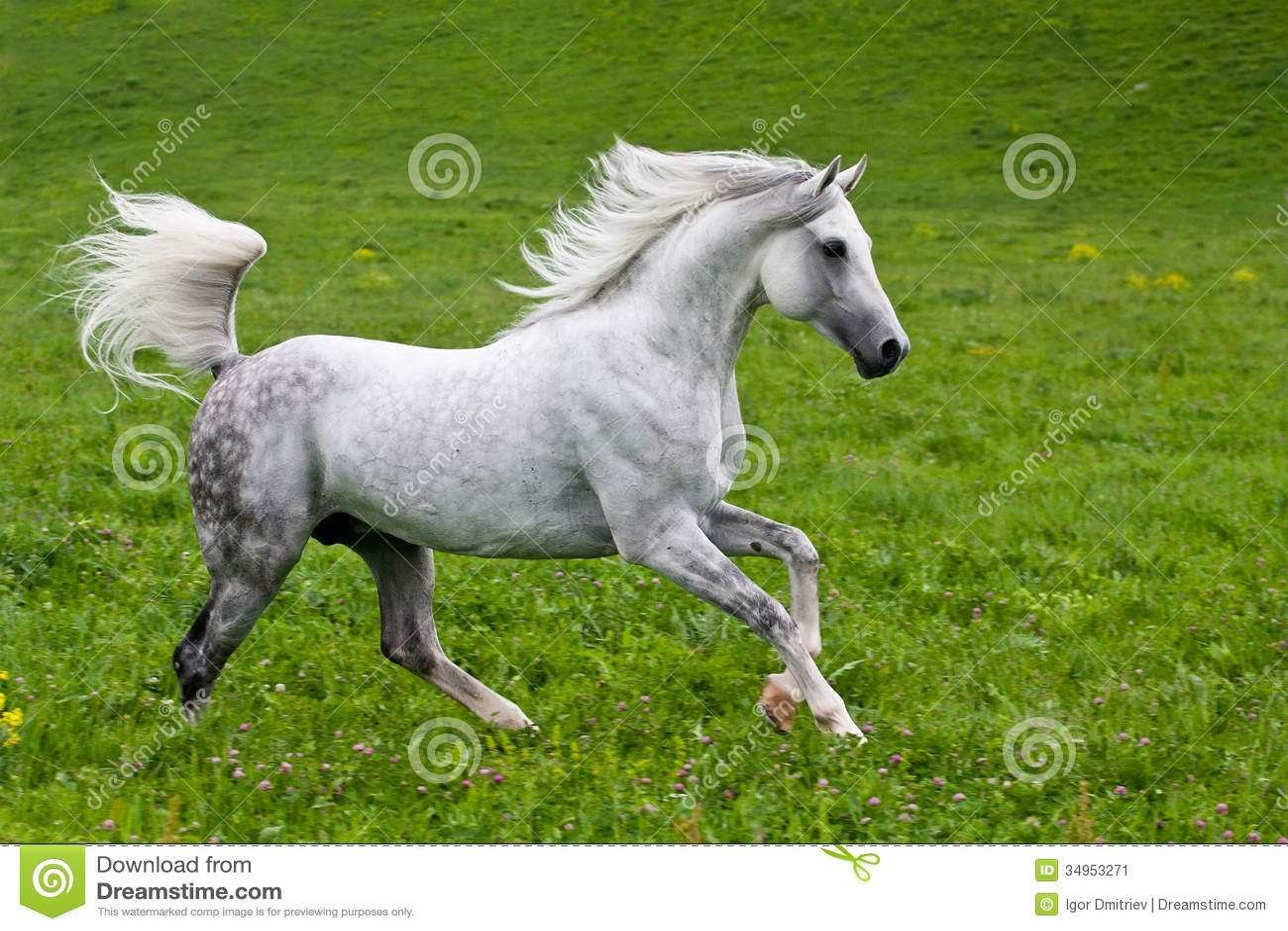 Gray Arab-paard