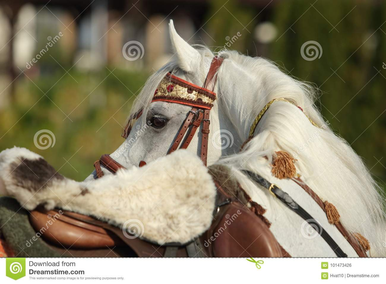 Gray Arabian Horse With Traditional Tack And Saddle Stock Photo Image Of Perissodactyla Headgear 101473426