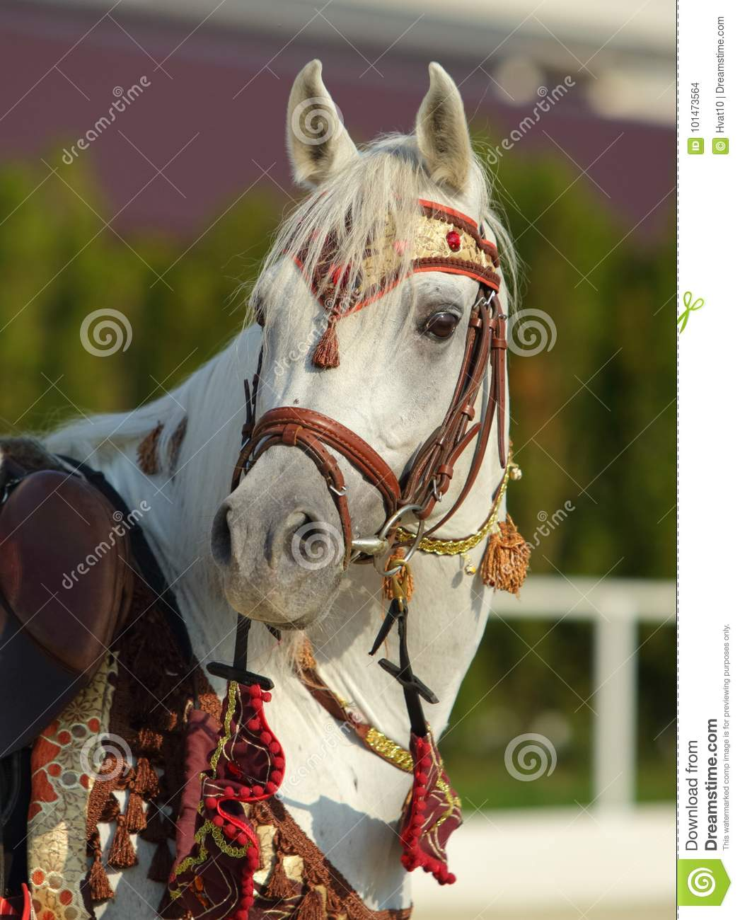Gray Arabian Horse With Traditional Tack And Saddle Stock Photo Image Of Bridle Arabian 101473564