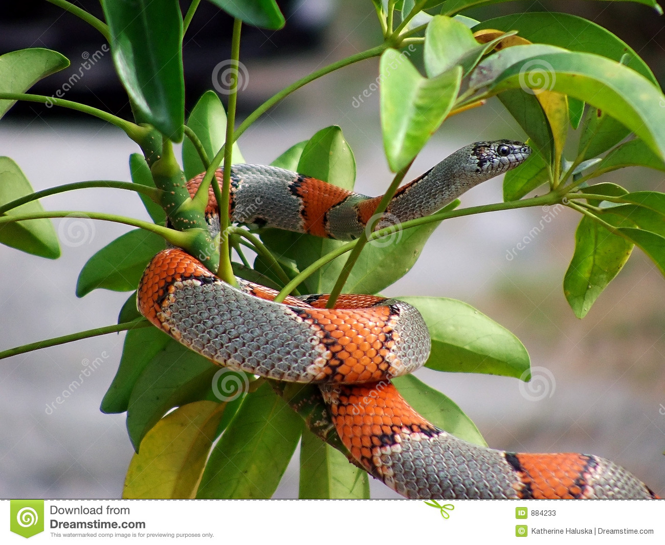 Where can i find a gray banded king snake?
