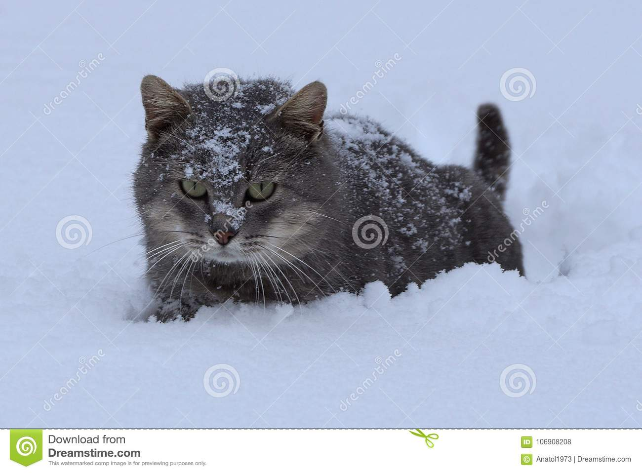 a1e0c26d8ca670 A Gray Big Cat Stands In A Snowdrift Stock Photo - Image of path ...