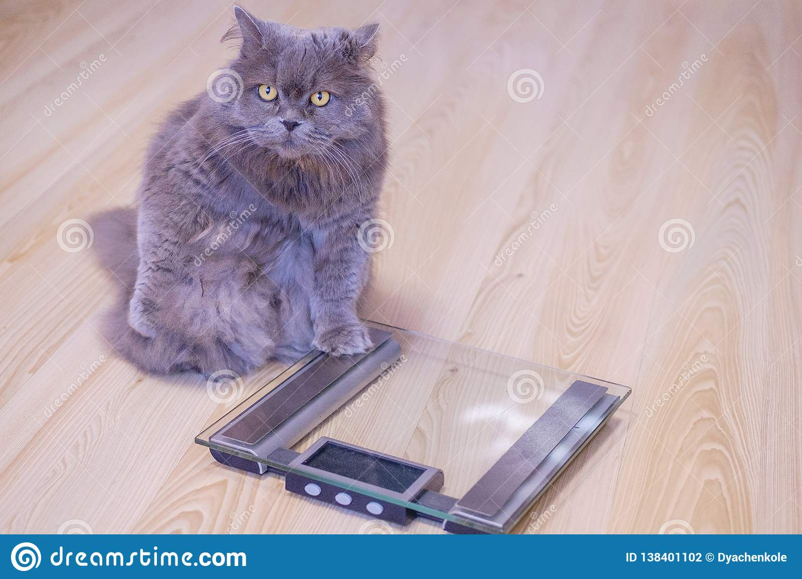 The gray big long-haired British cat sits near the scales and looks up. Concept weight gain during the New Year holidays, obesity,