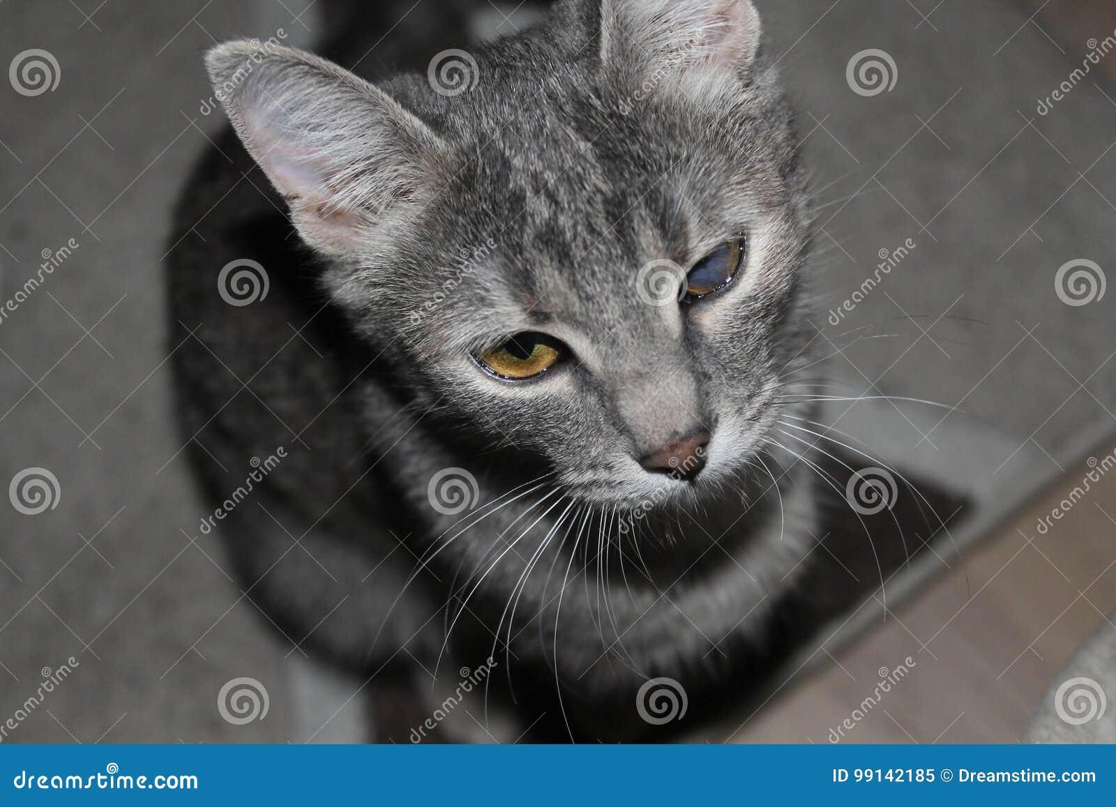 Gray Cat Image Stock Image Du Kitty Cataracte Malade