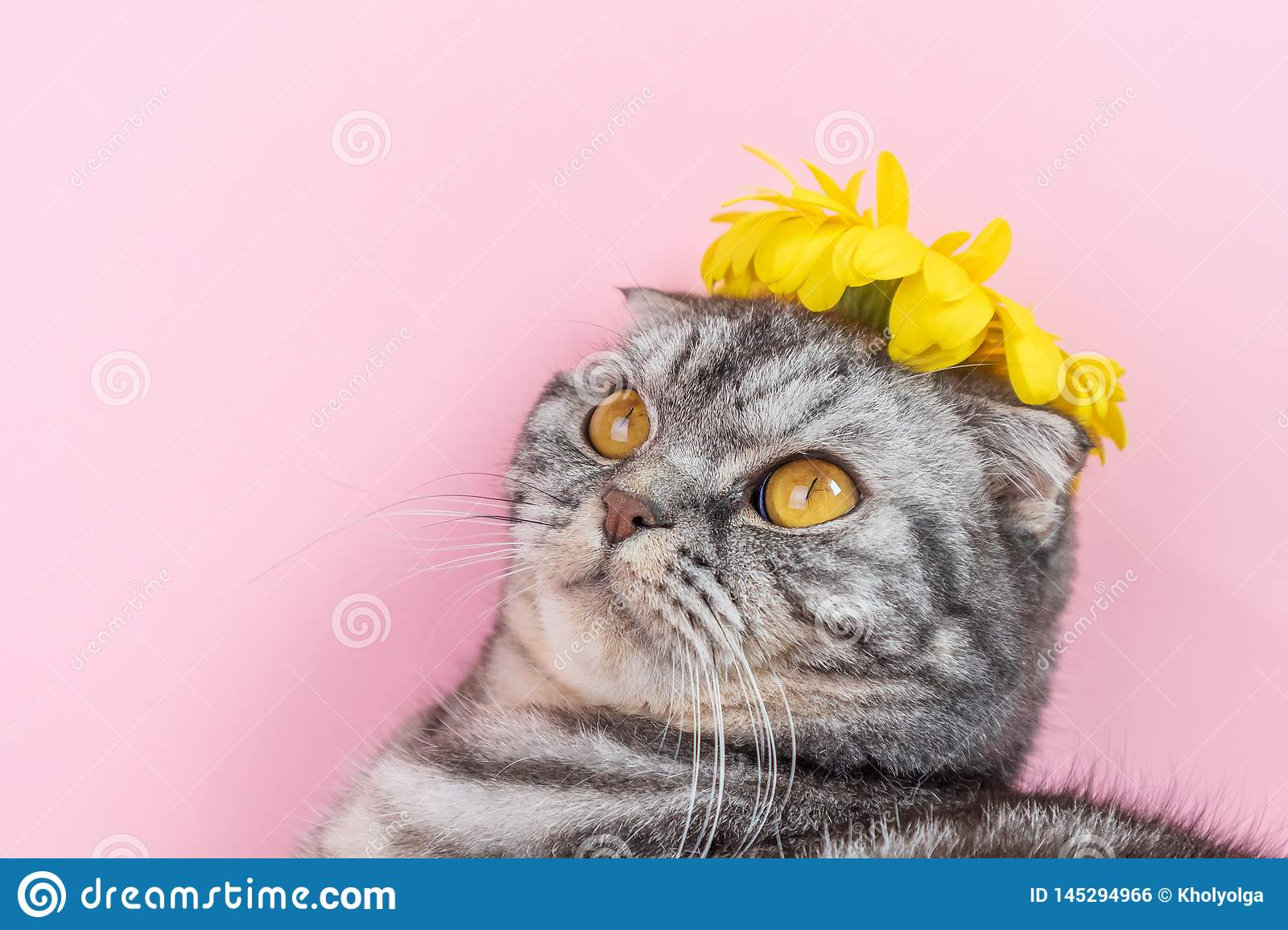 Gray cat breed Scottish Fold close-up with a yellow flower