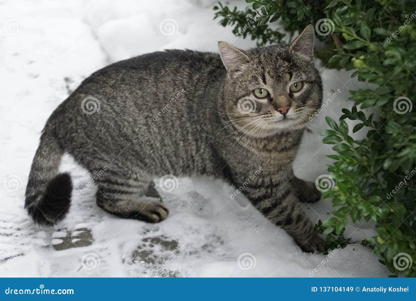 Gray Cat Inverno, gennaio neve Occhi di gatto verdi