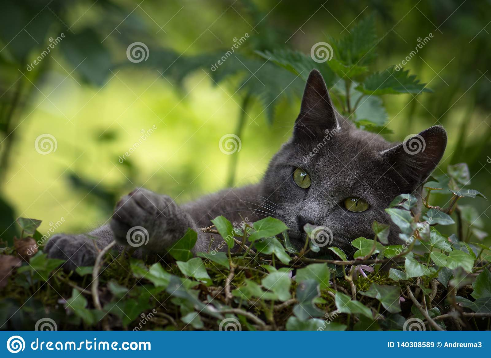 Gray cat in the nature