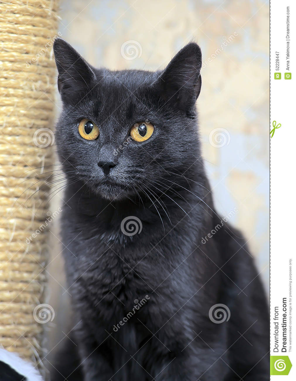 Gray cat stock image Image of grey eyes catus color