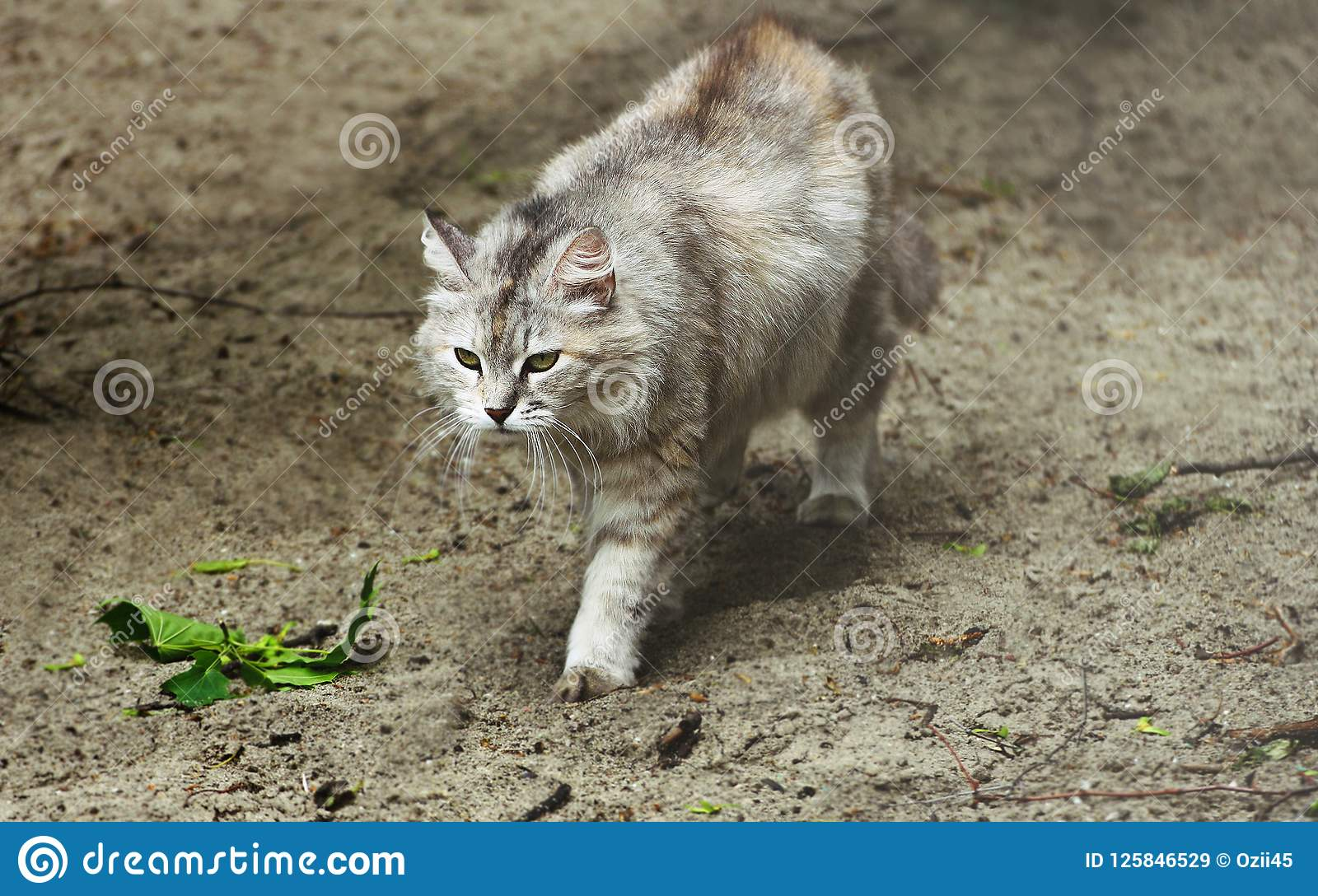 gray cat is on the gray sand stock image image of cats breeds