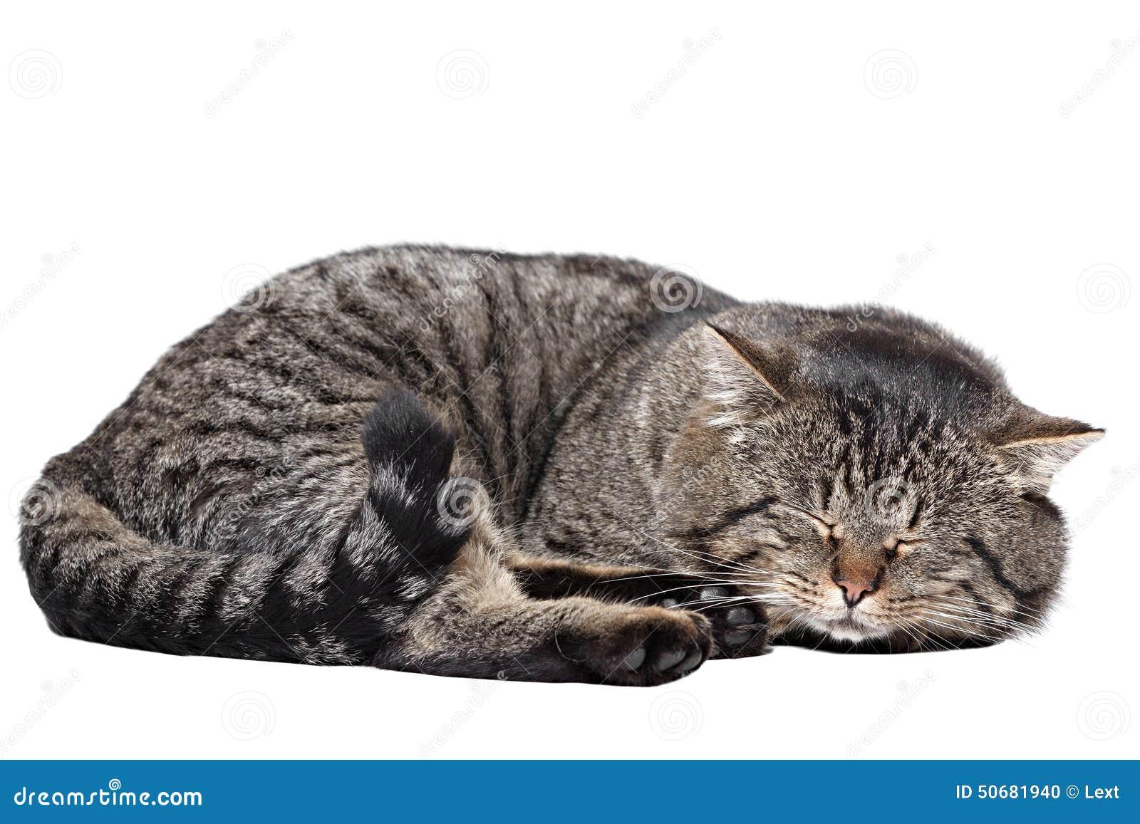 Cat Sleeping White Background