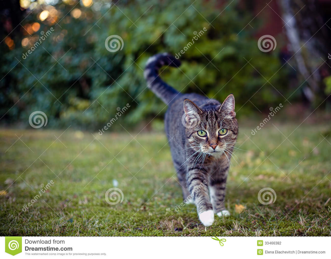 Gray cat in their area on the hunt