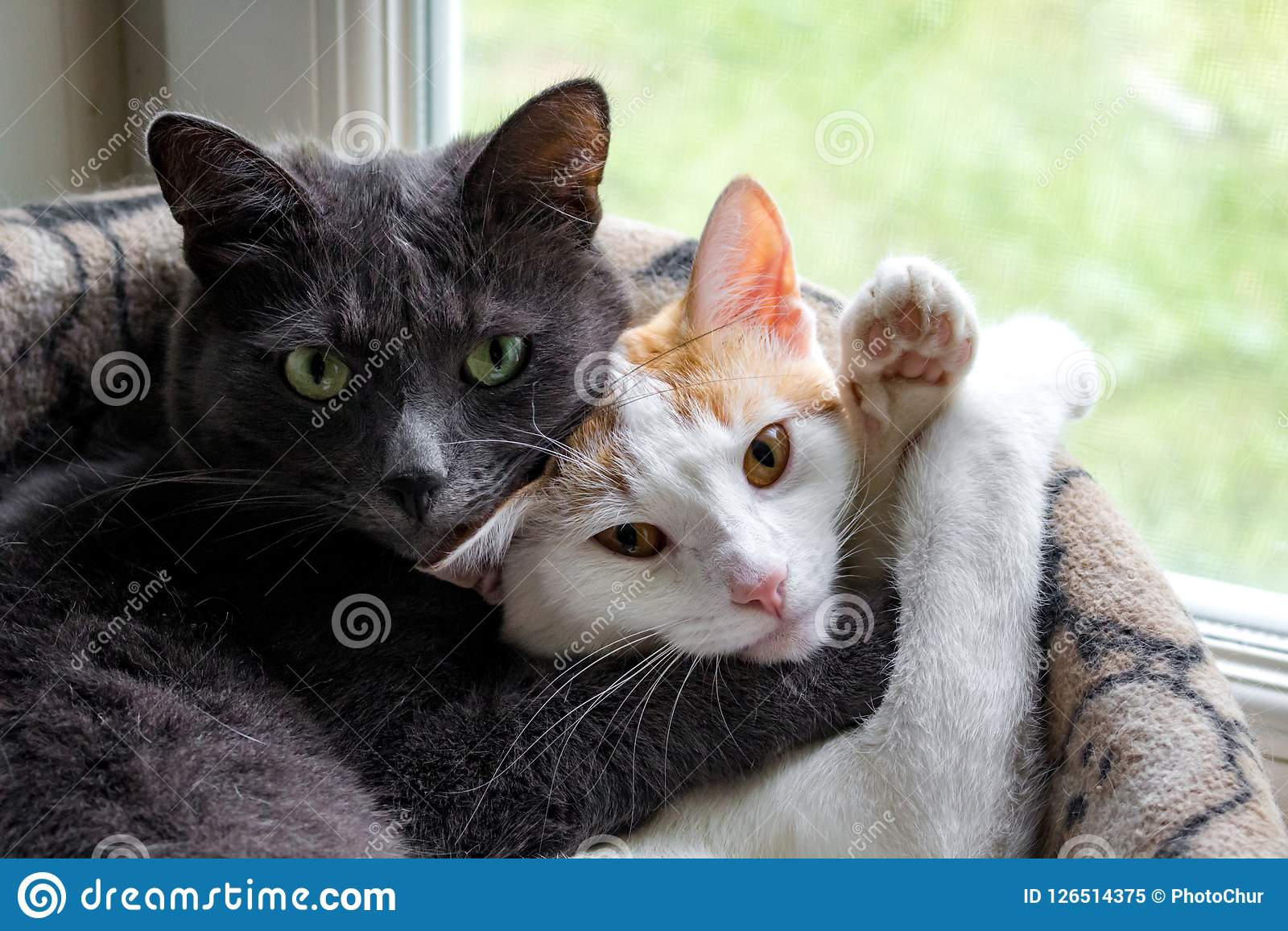 Gray cat and white pussycat sleep in embrace