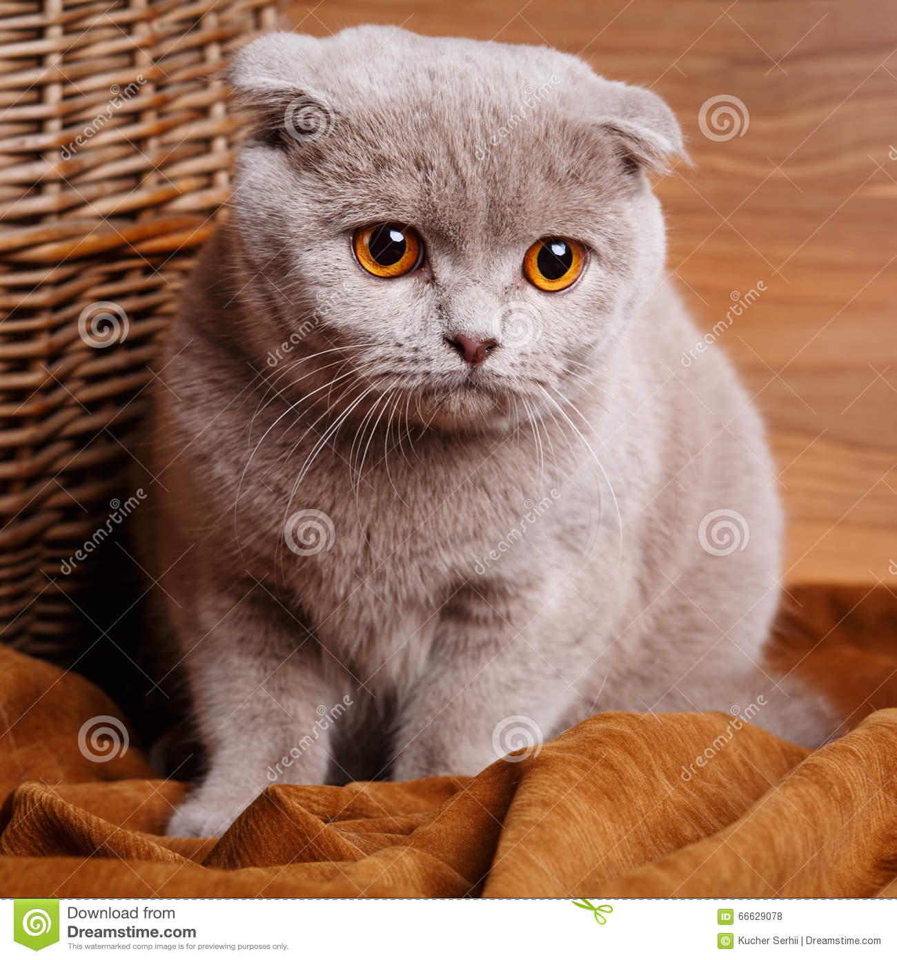 gray cat with yellow eyes scottish fold stock photo image 66629078. Black Bedroom Furniture Sets. Home Design Ideas