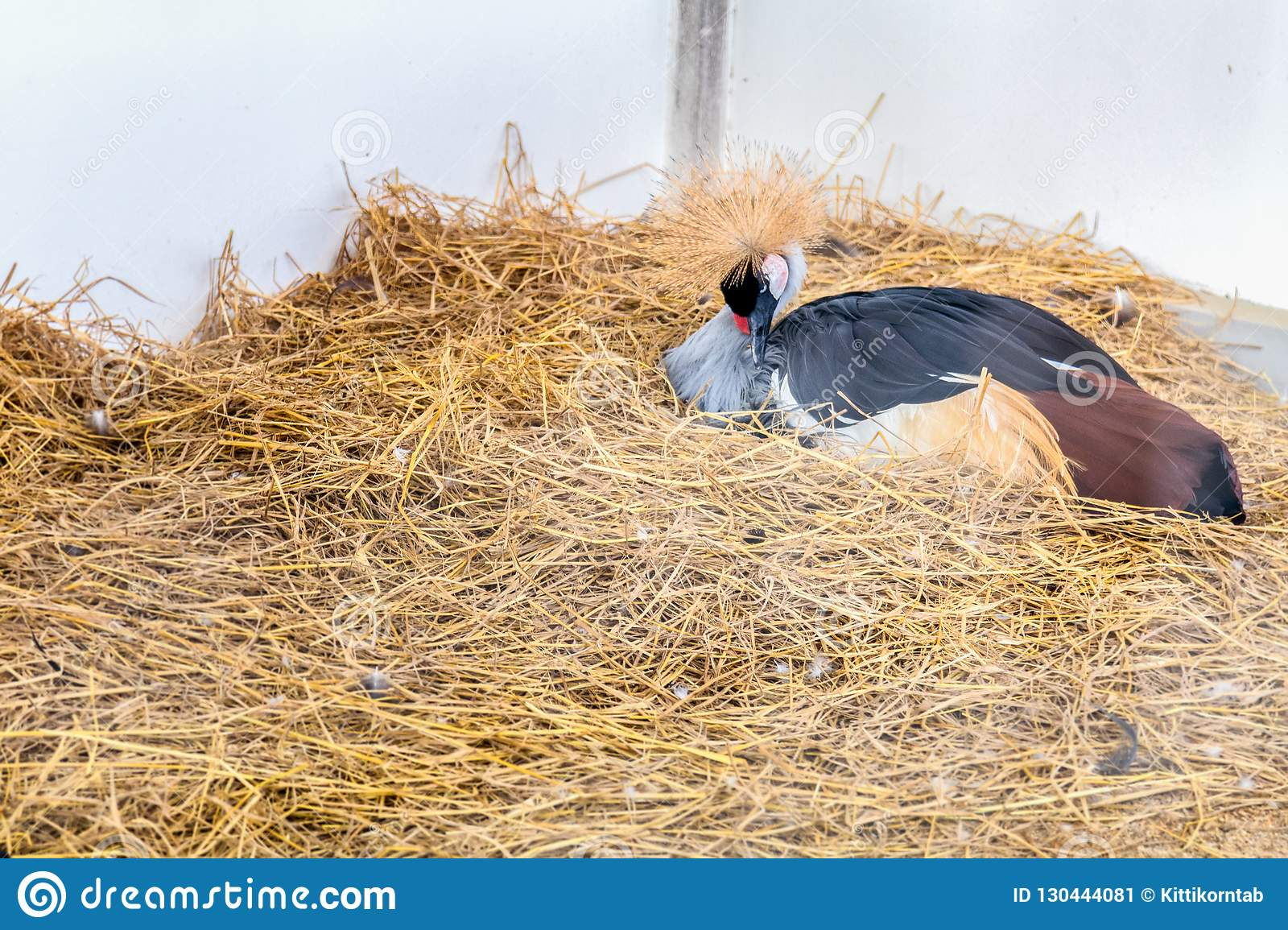 Gray Crowned Crane Lying