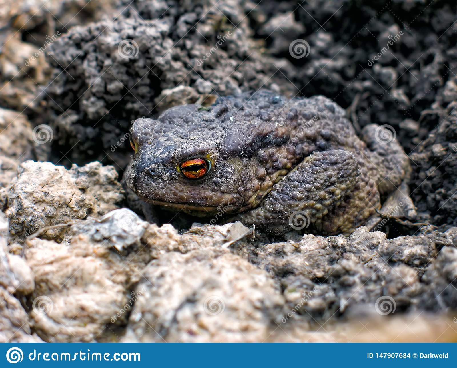 Gray earth toad woke up in the spring