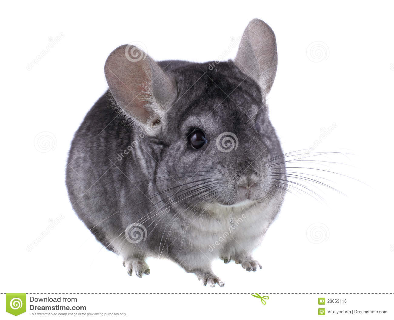 chinchilla singles 100% free online dating in chinchilla 1,500,000 daily active members.