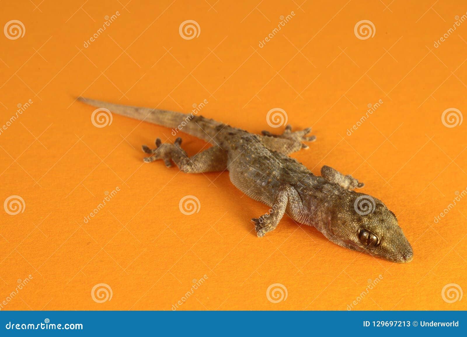 Gray Gecko Lizard