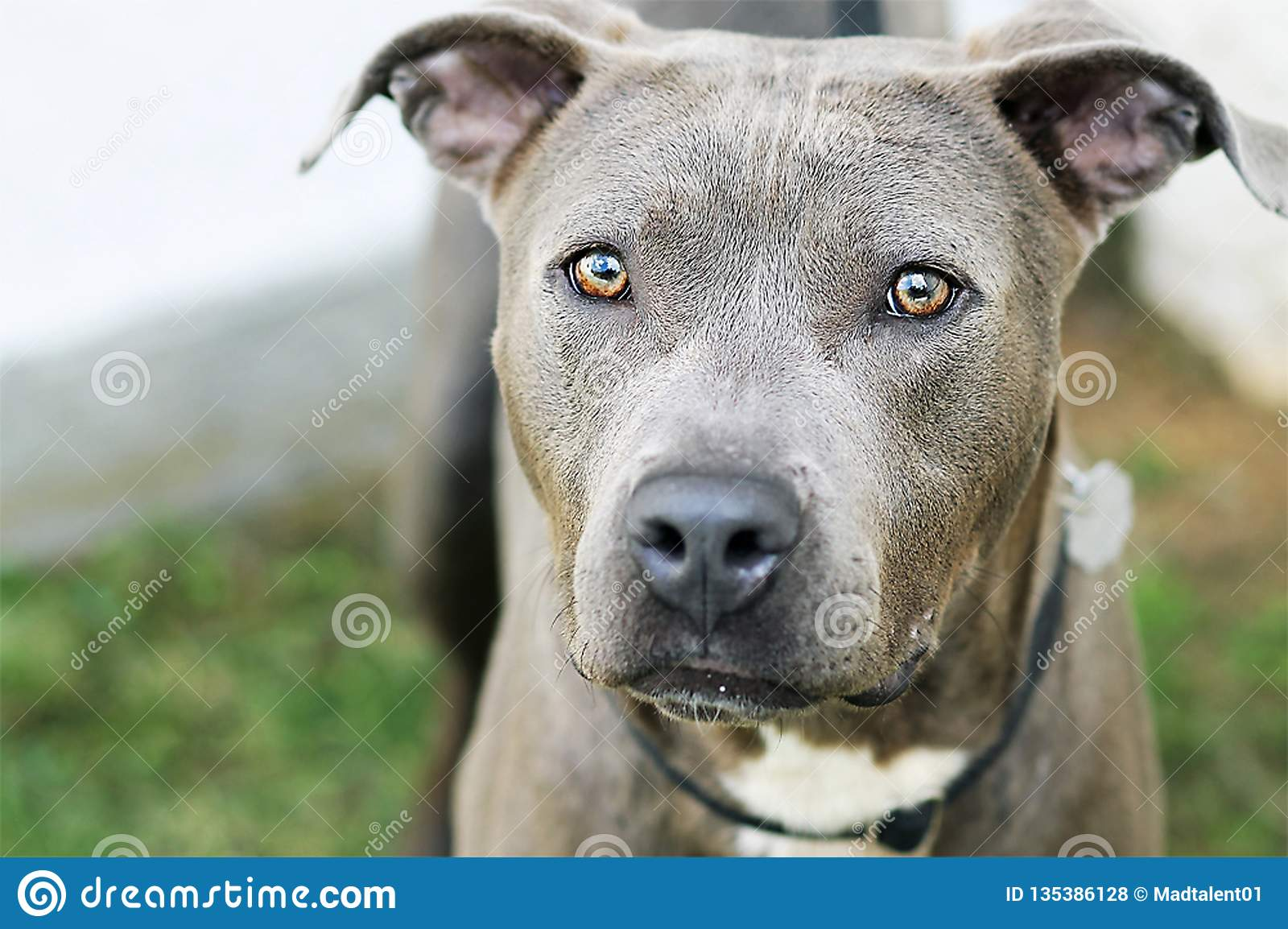 Gray Ghost Dog With Stunning-Ogen