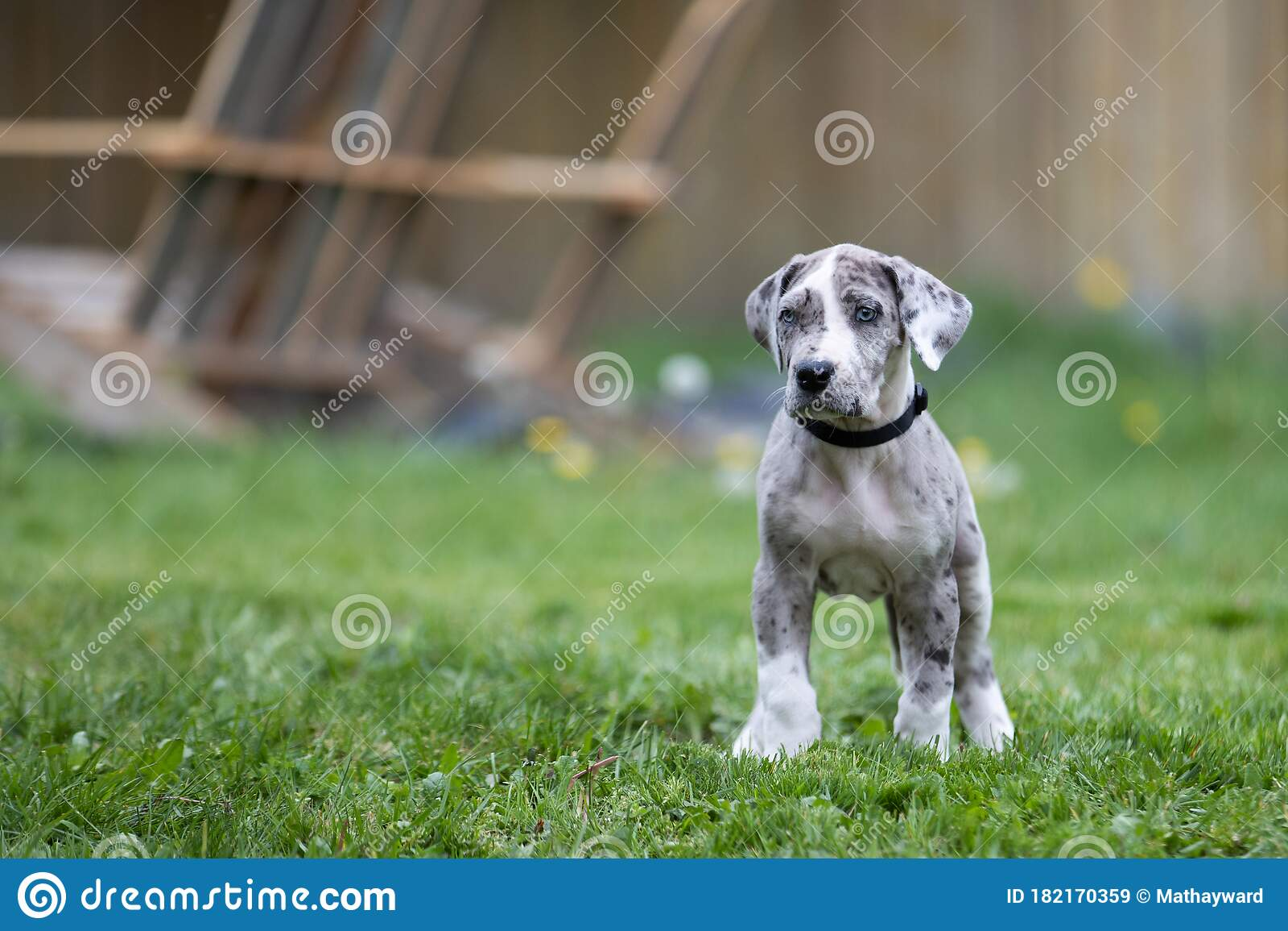 Gray Great Dane Puppy Dog Stock Image Image Of Animal 182170359