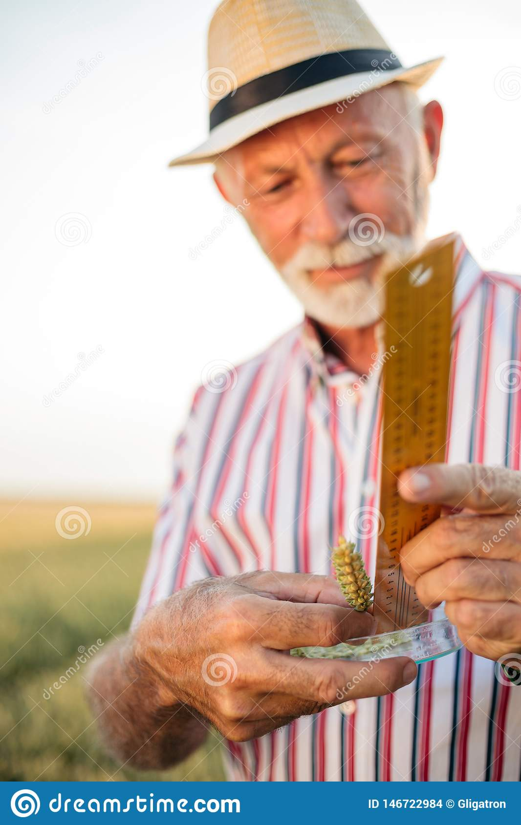 Gray haired senior agronomist or farmer measuring wheat beads before the harvest