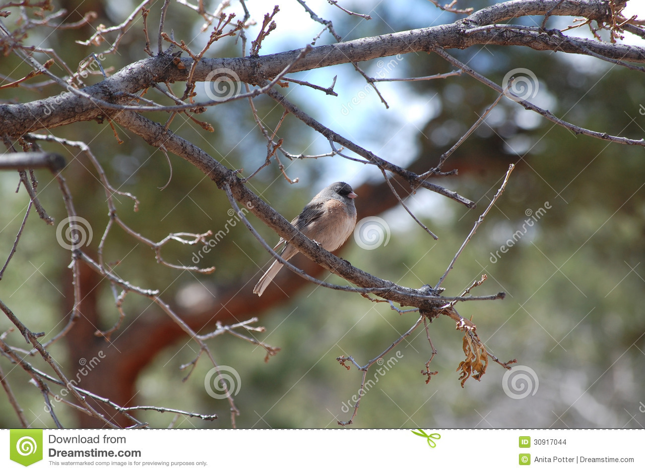 Gray Headed ou Junco Eyed obscuridade (hyemalis do Junco)