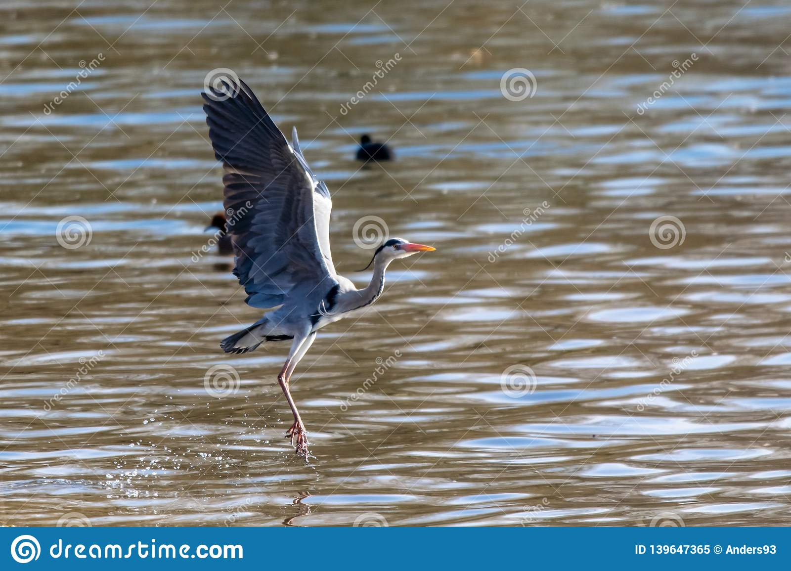 Egret Cartoons: Great Egret In Flight Royalty-Free Stock Photo