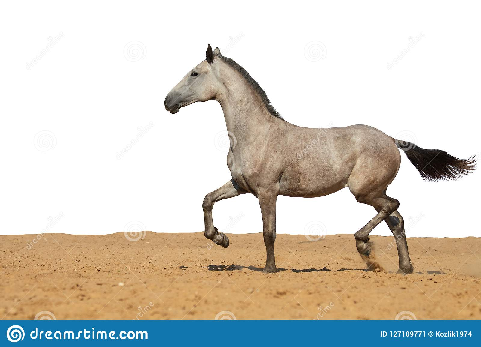 Gray horse foal galloping on sand on a white background