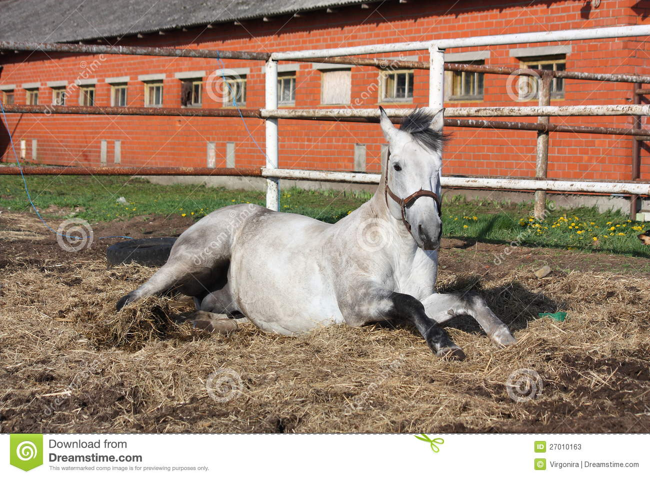 Gray horse rolling on the ground stock photos image