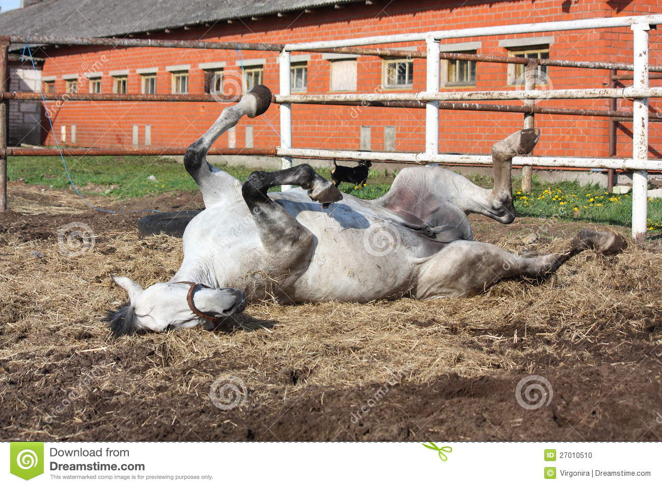 Gray horse rolling on the ground stock photo image