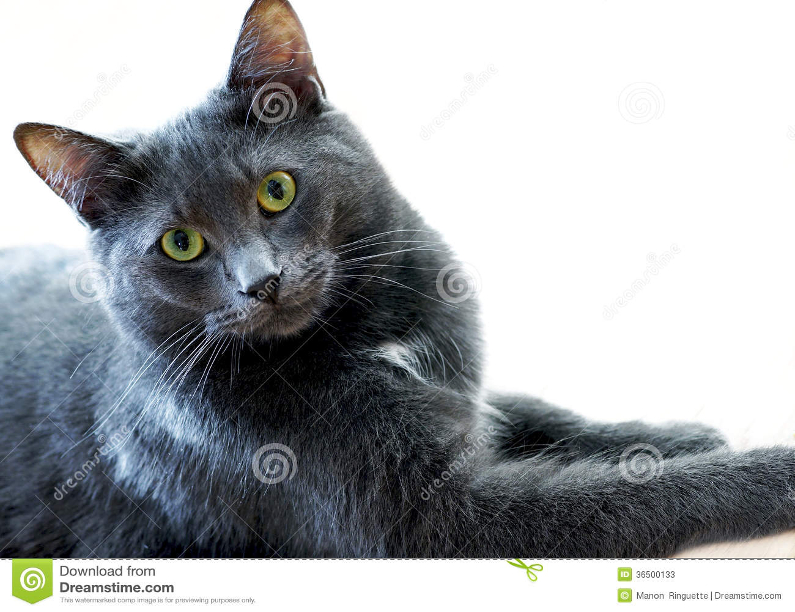 Gray House Cat bleu majestueux