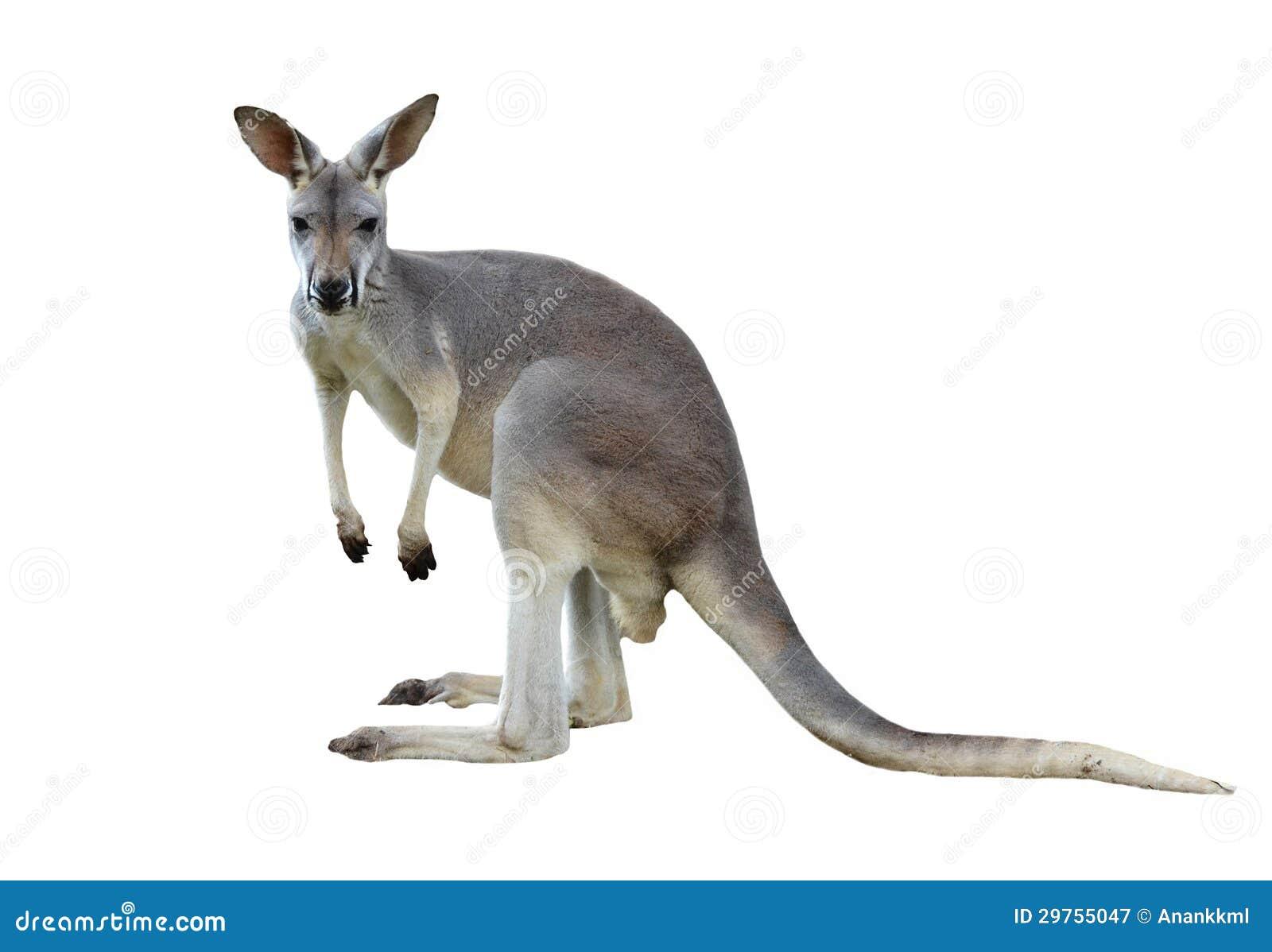 Gray Kangaroo Royalty Free Stock Photography - Image: 29755047