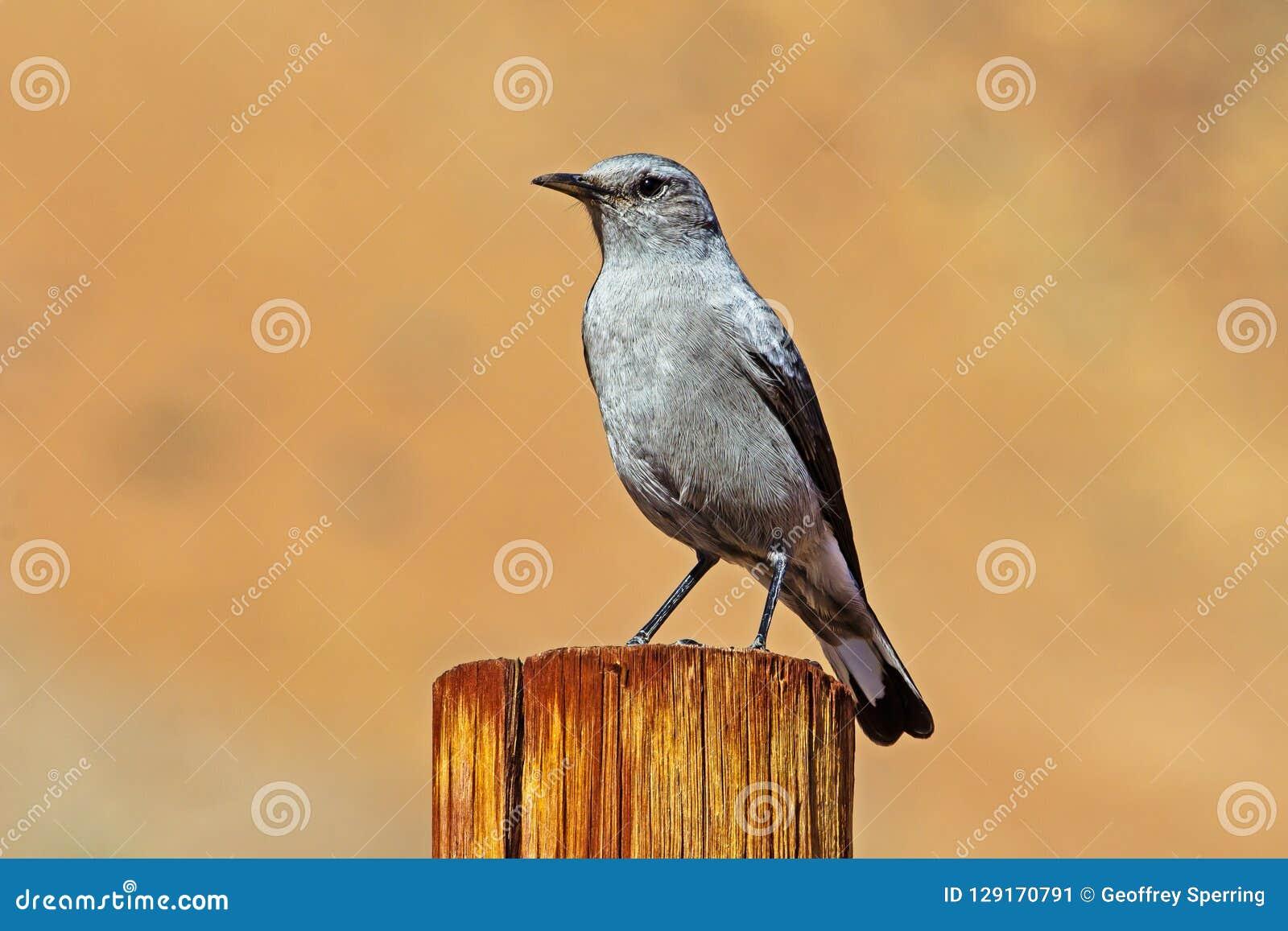 Gray Karoo Chat på stolpen
