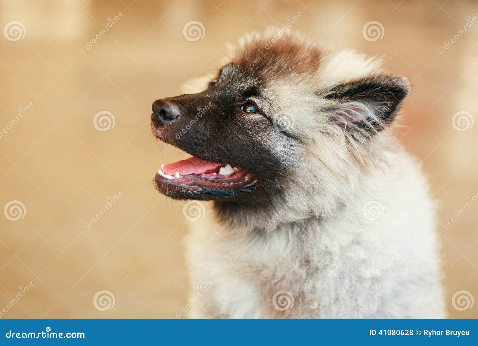 Gray Keeshound, Keeshond, cane di Keeshonden (Spitz tedesco)