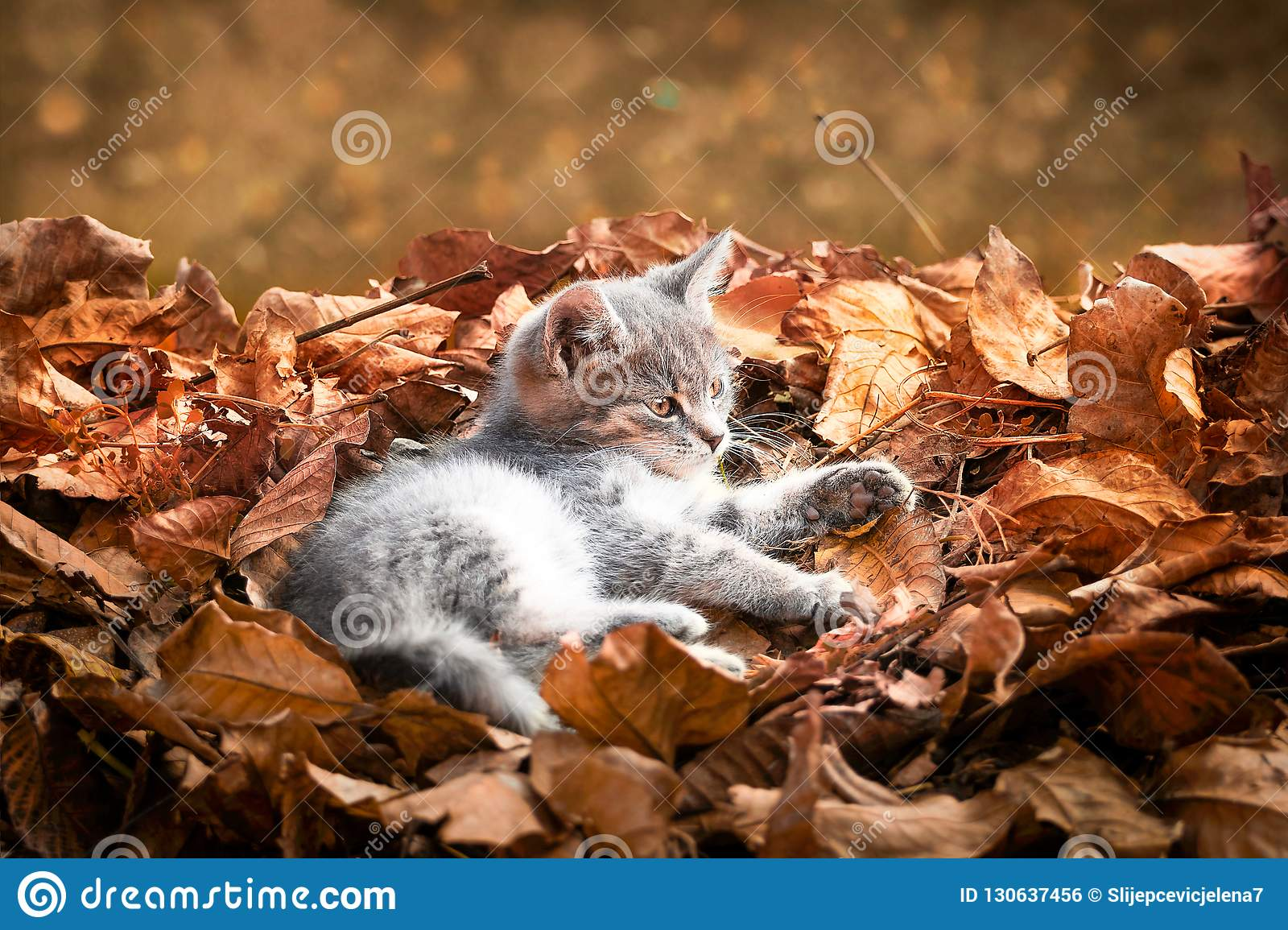 Gray kitten laying in pile of autumn leaves