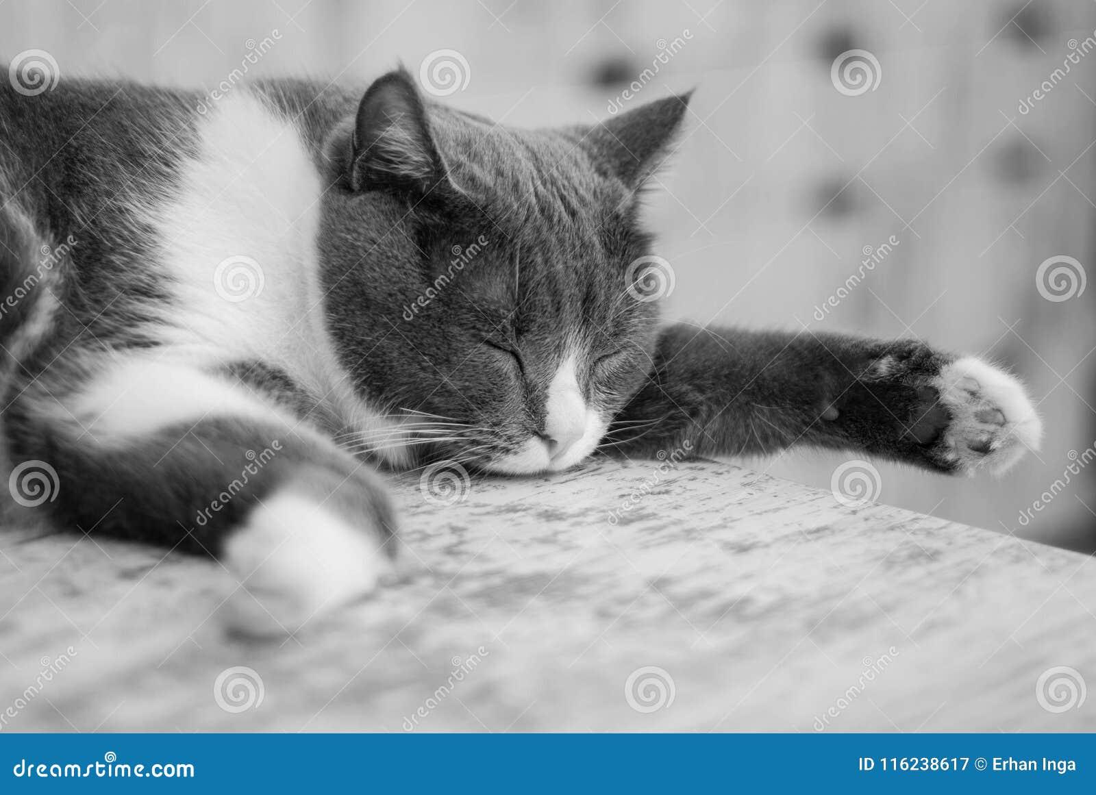 Gray Kitten Sleeping Isolated común en Gray Table Animales domésticos en casa
