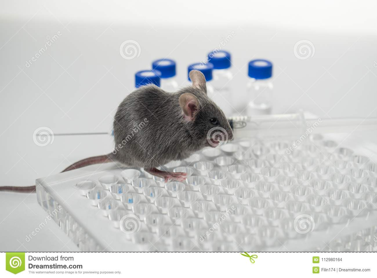 A gray laboratory mouse with an immunological plate, a syringe and vials. Concept - testing of drugs, vaccines