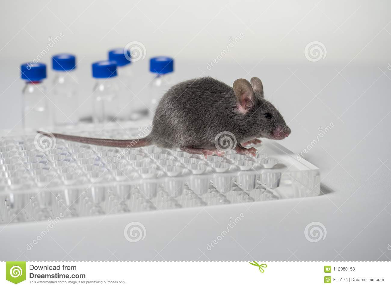 A gray laboratory mouse with an immunological plate and vials.
