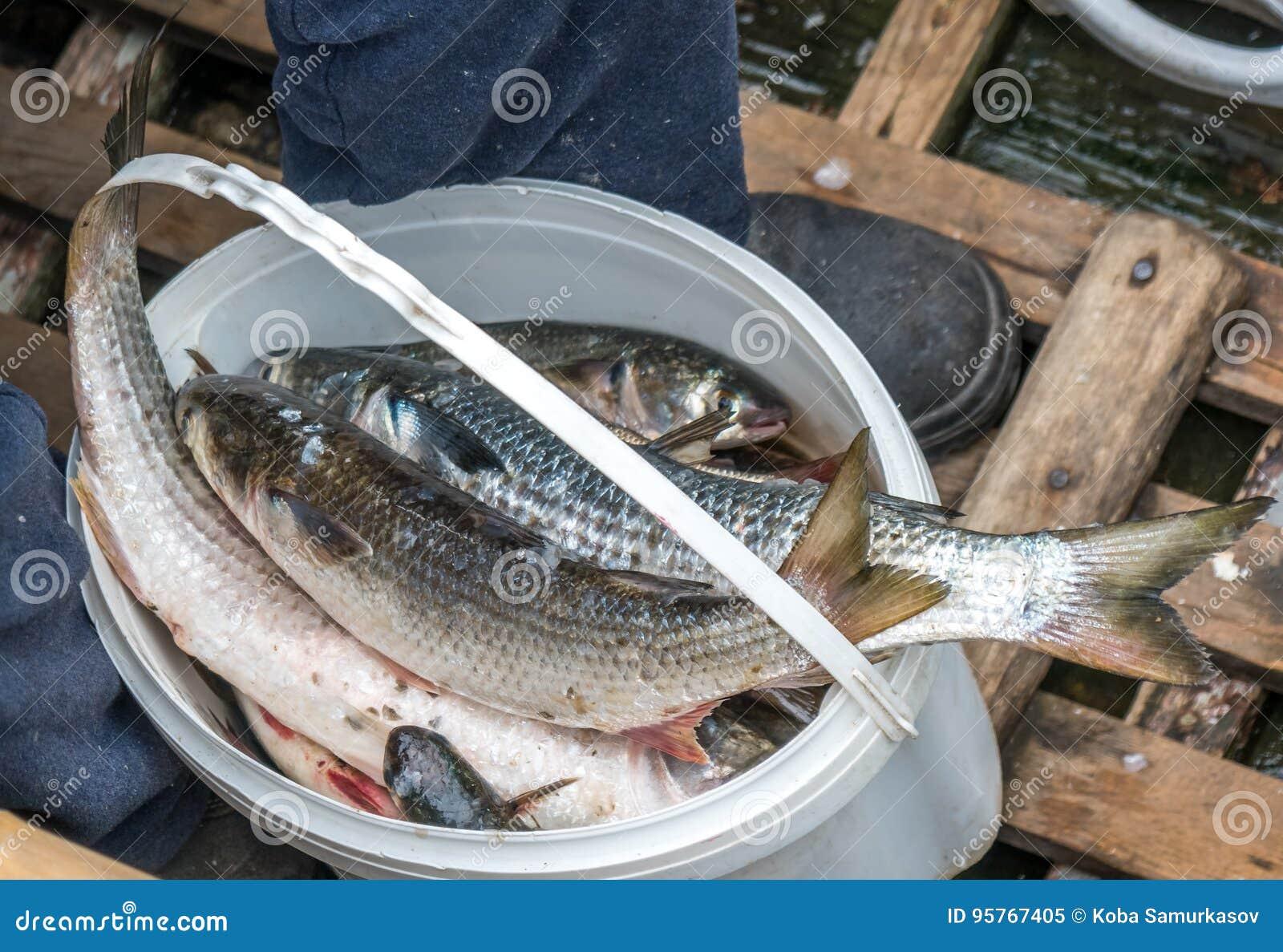 Gray Mullet Fish & X28