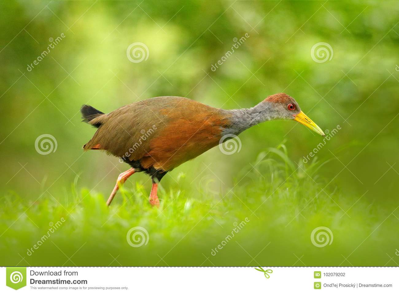 Gray-necked Wood-Rail, Aramides cajanea, walking on the green grass in nature. Heron in the dark tropic forest. Bird in the nature