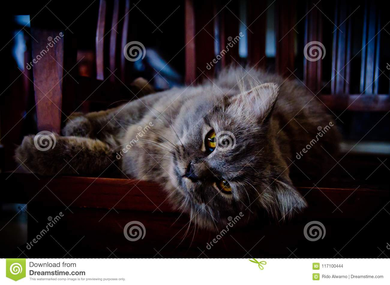 Gray Persian Cat lying on the wooden chair