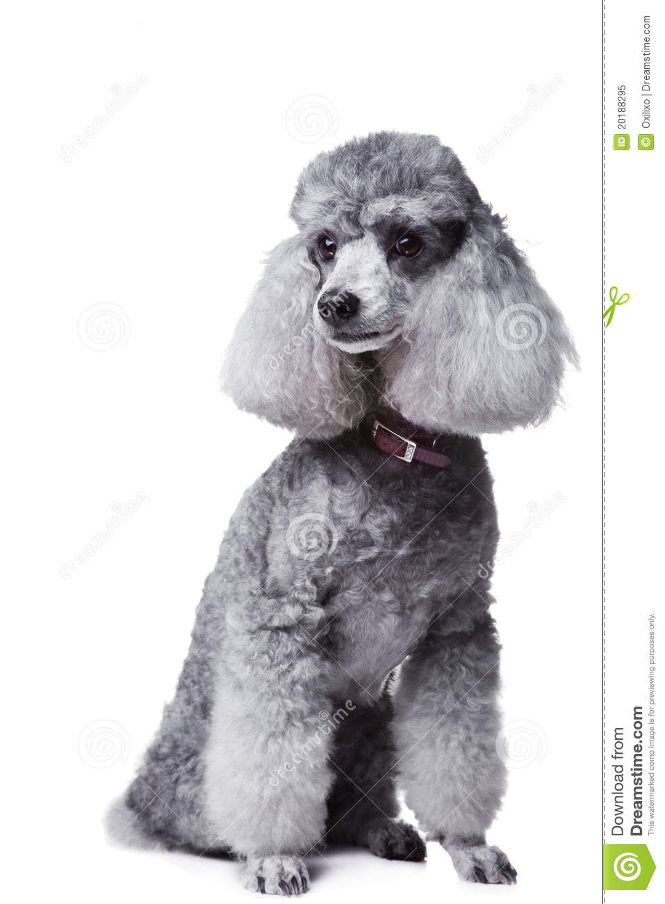 Gray Poodle On Isolated White Background Royalty Free
