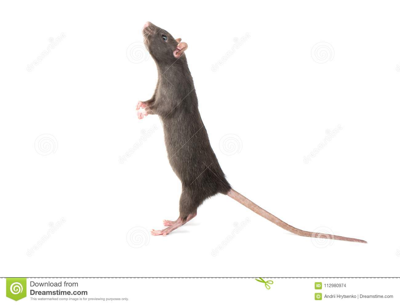 Rat stands on hind legs