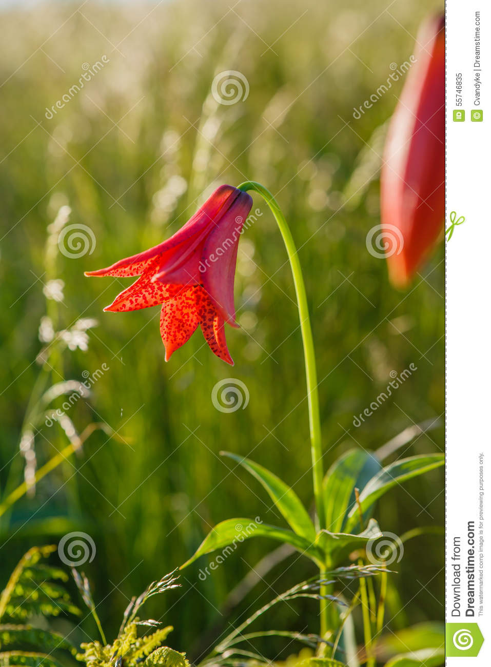 Grays Lily Flower Bloom Roan Mountain Tennessee North Carolina Stock