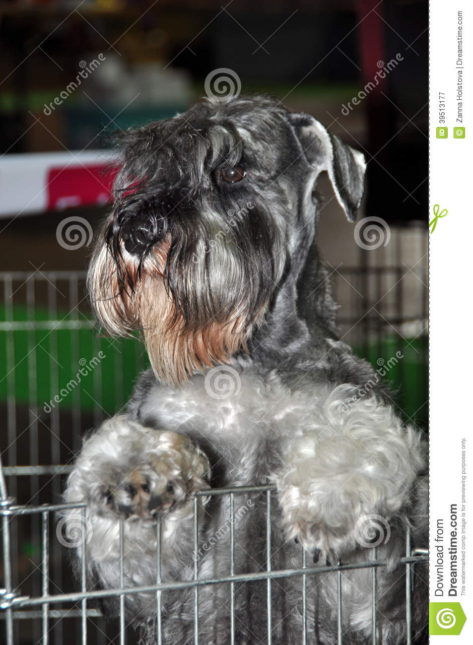 Gray Schnauzer dog in cage